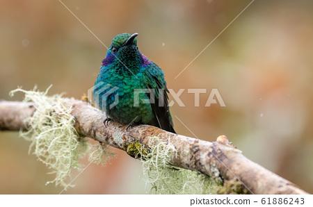 Hummingbird in Costa Rica 61886243