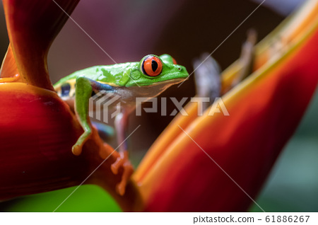 Red-eyed tree frog in Costa Rica  61886267