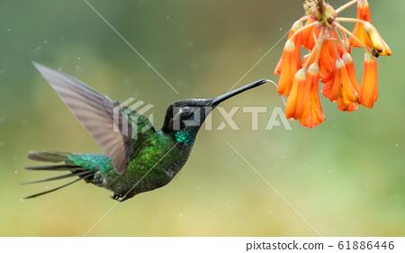 Hummingbird in Costa Rica 61886446