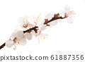 apricot branch with flowers isolated 61887356