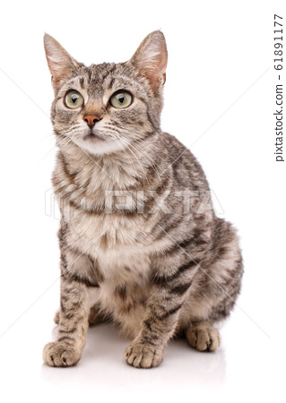 Adult striped cat with green eyes on a white 61891177