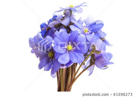 Hepatica nobilis 61896273