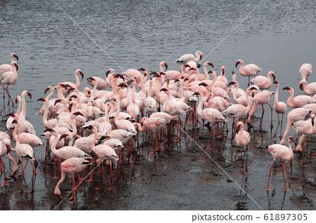 一群火烈鳥在納米比亞 61897305