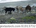 蘭花島,衝突綿羊,岩石,台灣,台東縣,蘭花島,山羊 61913732
