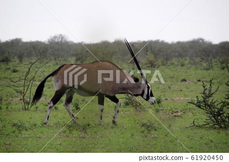 나미비아 에토샤국립공원 초원를 걸어가는 겜스복 한 마리 61920450
