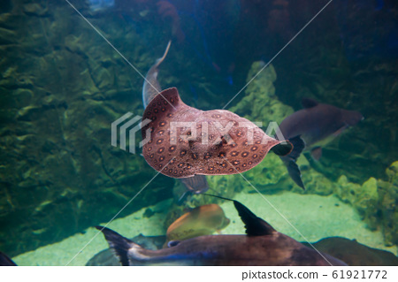 Tropical round ribbontail ray fish 61921772