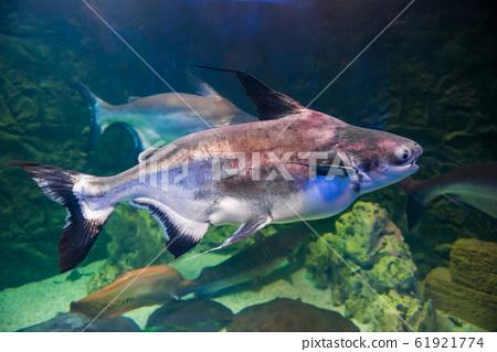 Tropical pangasius fish shark catfish 61921774