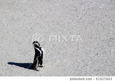 남아프리카공화국 케이프타운 볼더스비치 머리를 숙이고 앞가슴 깃털을 다듬는 펭귄 한 마리 61925883