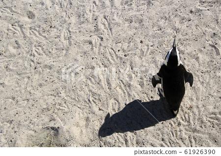 南非開普敦巨石海灘在白沙灘上回望的企鵝 61926390