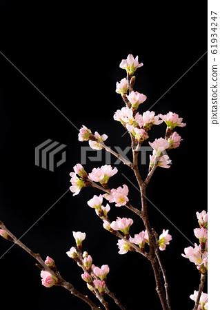 櫻桃樹 61934247