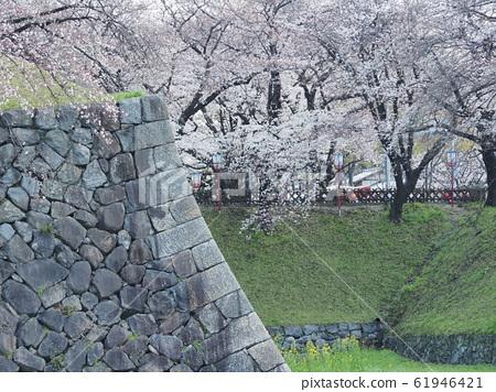春天盛開!名古屋城堡盛開 61946421