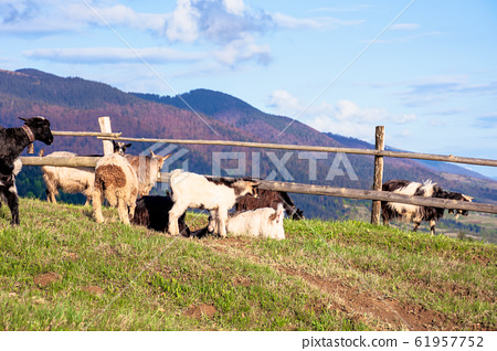 herd of goats on the alpine meadow in spring 61957752