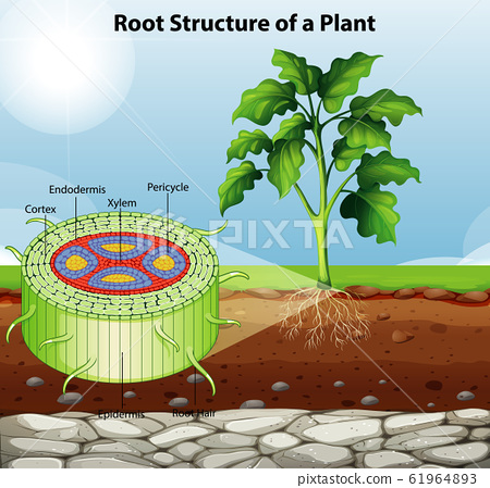 Diagram showing root structure of a plant 61964893