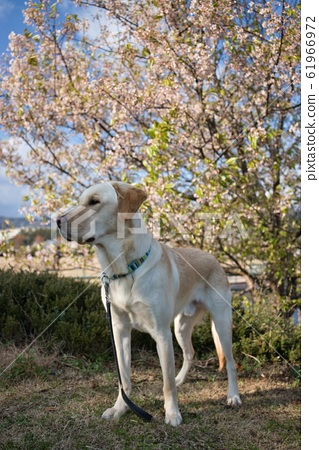 Lovely cherry blossom viewing 61966972