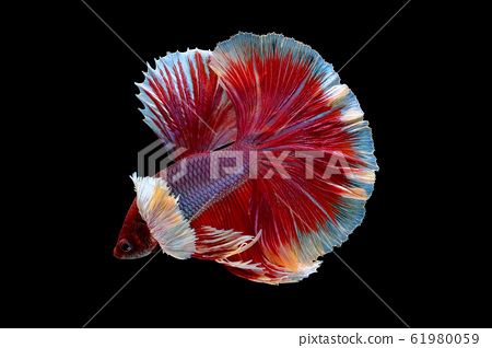 Red and pink color Siamese fighting betta fish 61980059