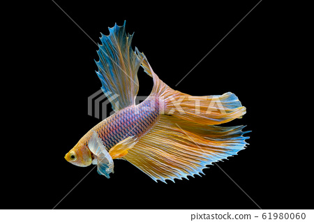 Isolated yellow Siamese fighting betta fish with different action 61980060