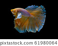 Isolated yellow Siamese fighting betta fish with different action 61980064