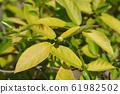Japanese fig 61982502