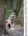 Close up timber wolf in forest 62007762