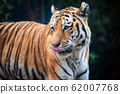 Close up Tiger on trees background 62007768