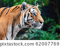 Close up Tiger on trees background 62007769
