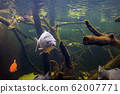Freshwater fish carp (Cyprinus carpio) in the pond 62007771