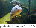 Freshwater fish carp (Cyprinus carpio) in the pond 62007772