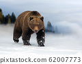 Wild brown bear in winter time 62007773