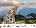 Wild african cheetah 62007774