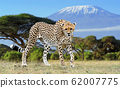Wild african cheetah on Kilimanjaro background 62007775