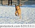 달리고있는 개 (잡종) 62015311