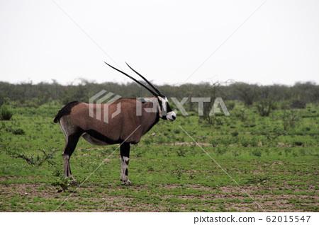 非洲納米比亞A Gembok站在埃托沙國家公園的草原上 62015547