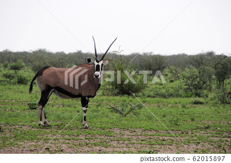 아프리카 나미비아 비 내리는 에토샤국립공원 초원의 겜스복 한 마리가 서있다 62015897