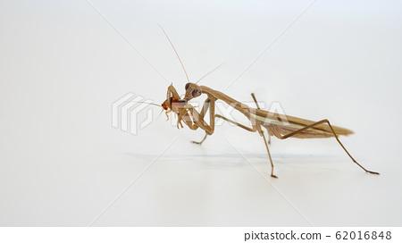 在吃蟑螂的螳螂 62016848