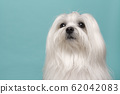 Portrait of a pretty longhaired Maltese dog on a 62042083