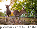 Wild deer in Nara Park at sunset light, Japan. Deer are symbol of Nara 62042360