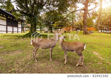 Wild deer in Nara Park at sunset light, Japan. Deer are symbol of Nara 62042380