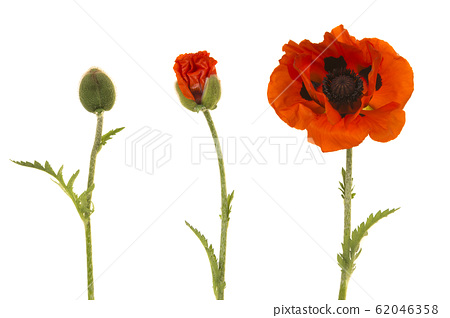 Poppy in three stages, from bud to blooming flower 62046358