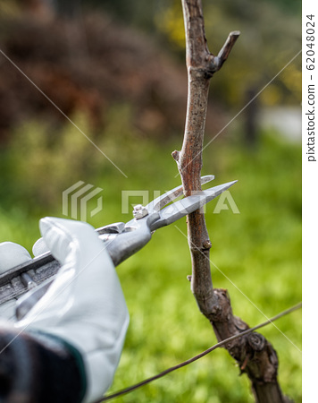 Farmer pruning the vine in winter. Agriculture. 62048024
