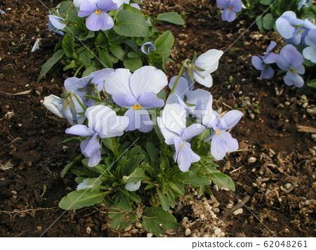 三洋美狄亚花卉博物馆的蓝色花中提琴 62048261