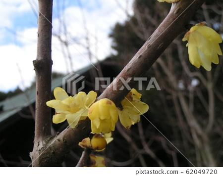 冬天盛开的黄色花是row花 62049720