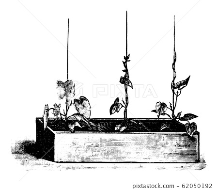 Vintage Antique Line Art Illustration, Drawing or Engraving of Ipomoea Plant or Flower in Flower Box 62050192