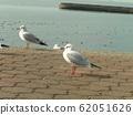 黑头鸥在Kemigawahama休息台高出一步 62051626