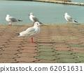 黑头鸥在Kemigawahama休息台高出一步 62051631