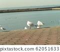 黑头鸥在Kemigawahama休息台高出一步 62051633