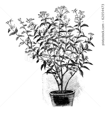 Vintage Antique Line Art Illustration, Drawing or Engraving of Blooming Bouvardia Plant of Flower in Pot 62054473