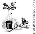Vintage Antique Line Art Illustration, Drawing or Engraving of Budding or Grafting of Orange Tree in Pot 62054474