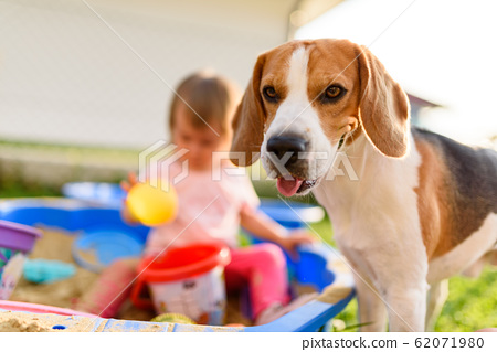 Beagle dog compannion with child outside. Baby 62071980