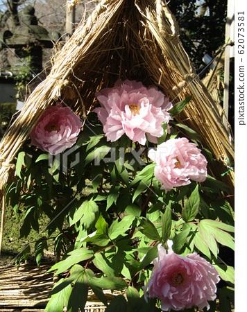 Ueno Toshogu Shokutanen pink button flower 62073581