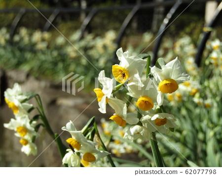 上野東照宮Botanen白色中層黃色水仙花 62077798